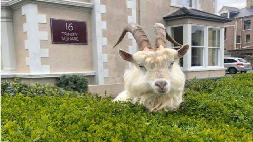 Galles: le capre invadono la città di Llandudno