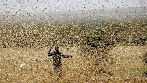 Africa: il Coronavirus blocca i rifornimenti di pesticidi, si aggrava l'emergenza locuste