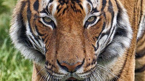 Coronavirus: anche un tigre positiva allo zoo del Bronx
