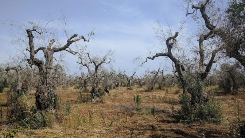 La malattia degli ulivi si diffonde in Europa: allarme in Spagna e Grecia