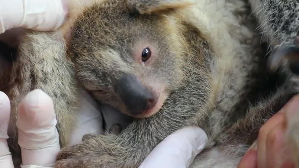 Australia: Cenere, il primo koala nato dopo gli incendi