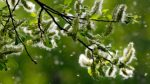 Allergie: quest'anno la concentrazione di pollini è sei volte la media