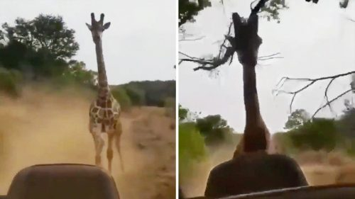 India: giraffa insegue turisti e supera il SUV. Il video
