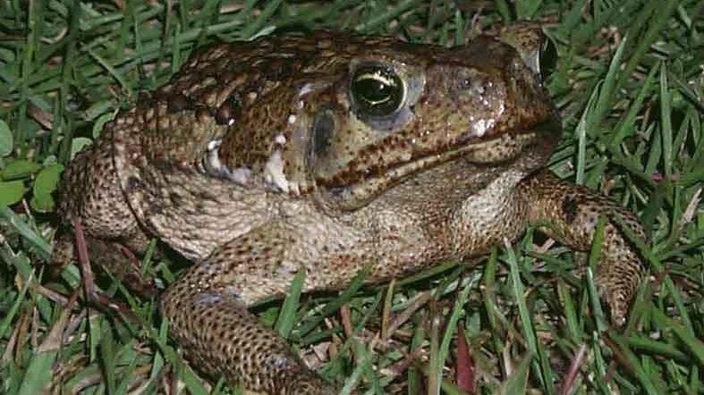 Florida, l'invasione dei rospi di canna allarma i residenti. Gli esperti: 'velenosi per i cani'