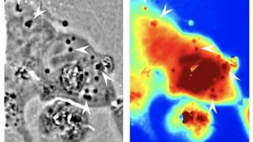 Ricercatori rendono le cellule umane invisibili