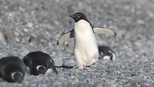 Clima: il riscaldamento globale 'favorisce' i pinguini di Adelia