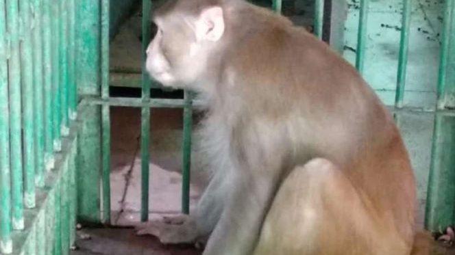 India, scimmia ubriaca attacca la popolazione provocando 250 feriti e un morto