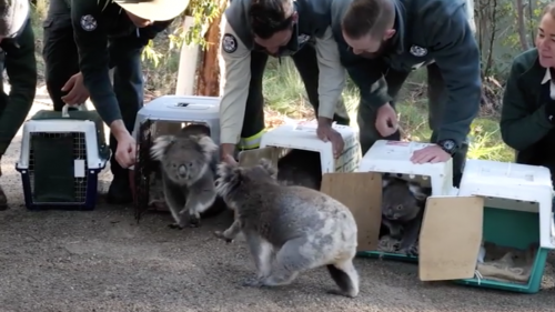 Australia: i koala salvati dalle fiamme ritornano nella foresta
