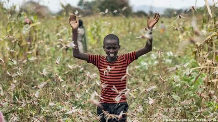 Locuste in Africa. Gli esperti: 'La soluzione è spingerle al cannibalismo o mangiarle'