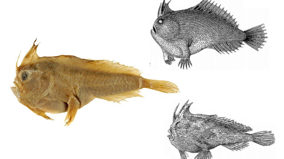 Australia: estinto il pesce palla liscio
