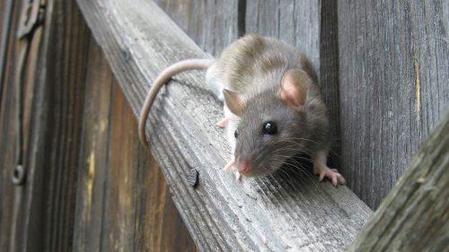 Gran Bretagna: con il COVID-19 aumentano aggressività e cannibalismo dei topi