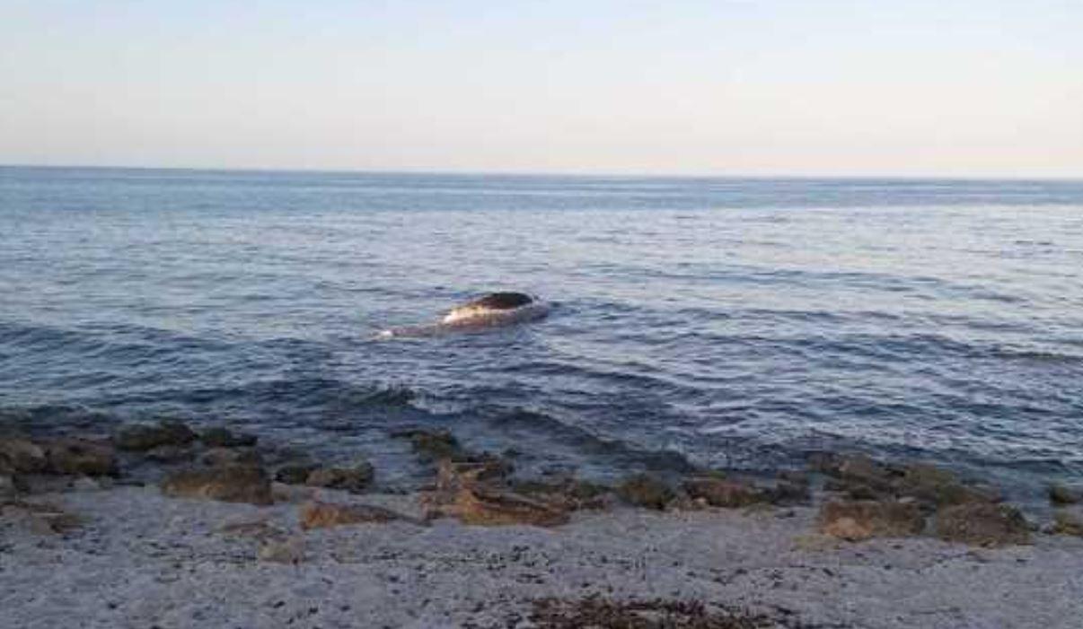 Scoperta una carcassa di capodoglio in Sardegna: è lunga oltre 7 metri