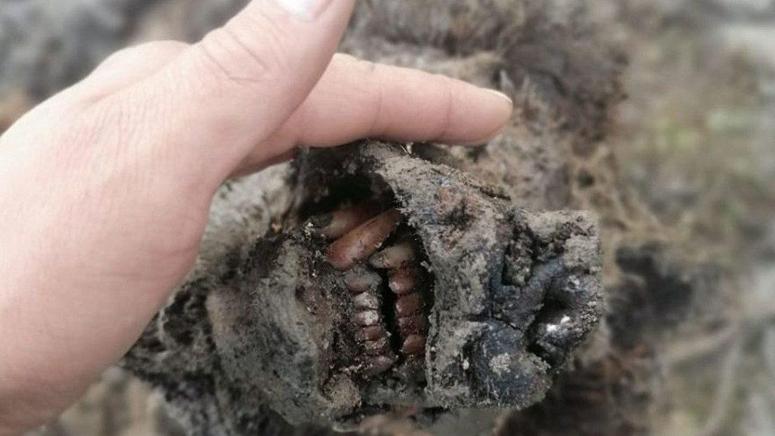 Siberia: scoperto il corpo di un orso estinto in condizioni perfette. Risale a 15mila anni fa