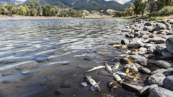 Yellowstone: centinaia di pesci morti nelle acque del  fiume