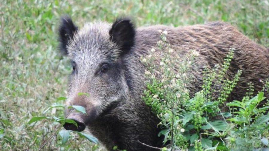 Germania: confermato primo caso di peste suina in un cinghiale selvatico