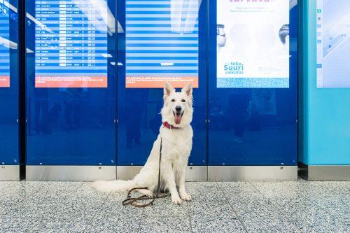 I cani 'fiutano' i positivi al COVID-19. L'incredibile scoperta finlandese