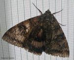 Chernobyl: avvistata una delle farfalle più grandi al mondo