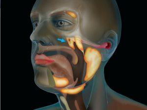 Scoperto un nuovo organo all'interno della testa