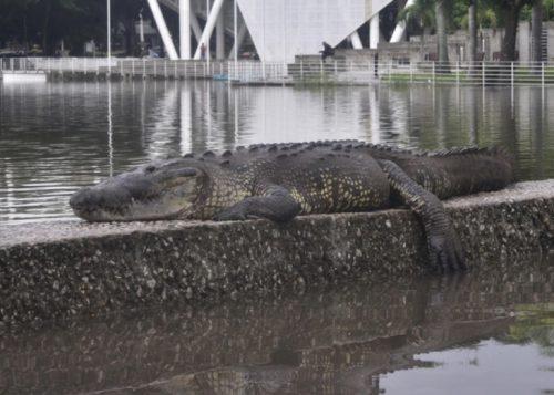 Messico: il Rio Gijalva straripa, i coccodrilli invadono le strade di Villahermosa