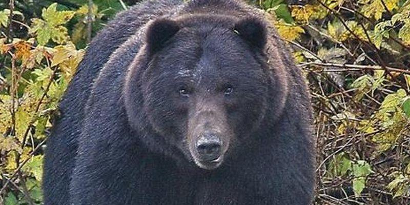 Cina: un orso nero attacca  auto in un parco. Il video