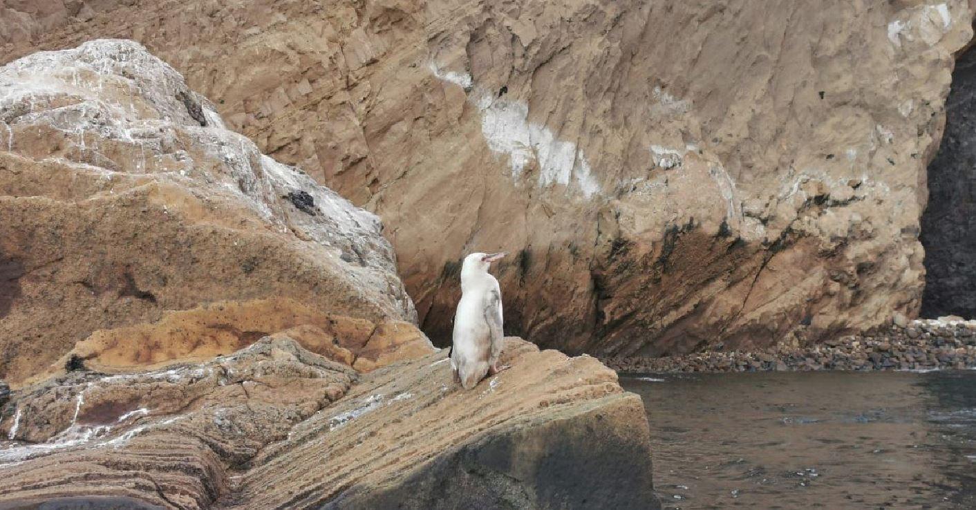 """Osservato un rarissimo pinguino bianco sulle isole Galapagos: """"Potrebbe essere affetto da leucismo"""""""