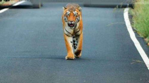 India: tigre entra in un villaggio e insegue gli abitanti. Il video