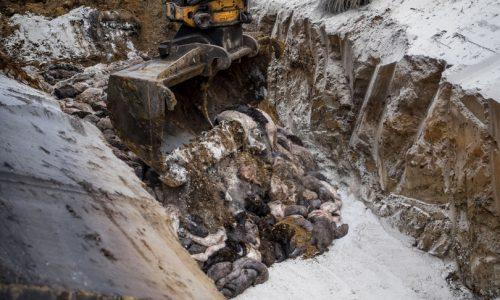 Danimarca: i corpi dei visoni abbattuti hanno inquinato le falde acquifere