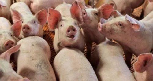 Focolaio di peste suina africana in Siberia: maiali hanno mangiato scarti alimentari di ospedale Covid