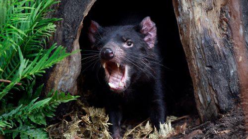 Natura: il diavolo della Tasmania 'sconfigge' il cancro che minacciava di estinguerlo