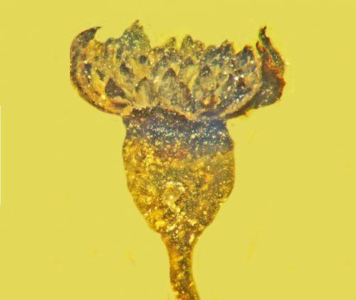 Un fiore di 100 milioni di anni fa scoperto in Birmania