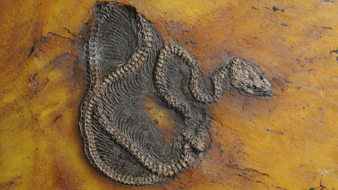 Germania: scoperto il fossile di pitone più antico del mondo