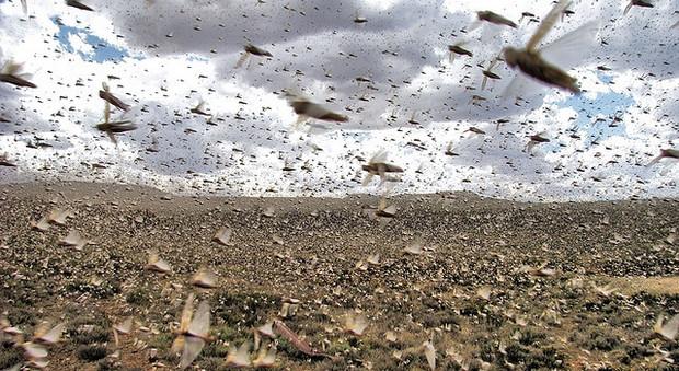 Africa: si teme nuova devastante invasione di locuste