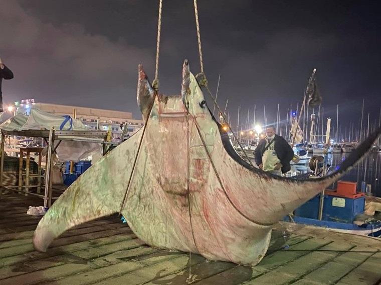 Palermo: un gigantesca manta di 450 chili raggiunge la costa