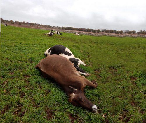 Puglia: fulmine uccide 10 mucche in provincia di Bari