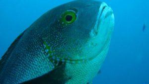 Scoperto un pesce di 81 anni: è record