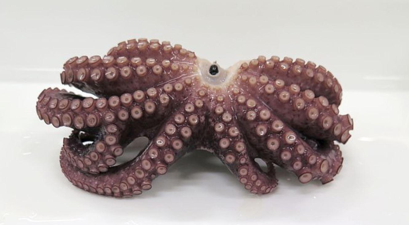 Scoperto raro polpo a nove tentacoli in Giappone: ha un'appendice in più