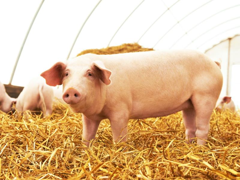 USA: approvata produzione di maiali geneticamente modificati per consumo umano