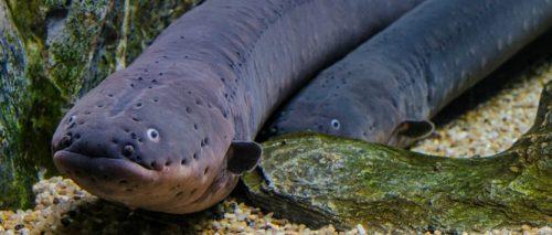 Le anguille elettriche cacciano in gruppo. Insieme producono il voltaggio più alto in natura