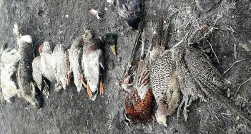 Verona: agricoltore sparge mais avvelenato contro le nutrie. Muoiono centinaia di animali