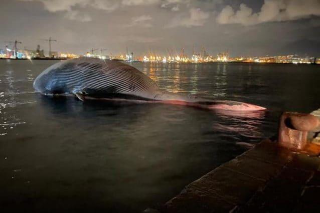 La balena più grande mai scoperta nel Mediterraneo trovata morta a Sorrento