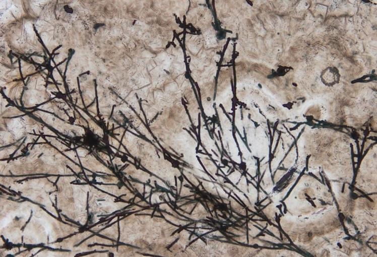 Scoperto il fossile terrestre più antico: è un fungo di 635 milioni di anni