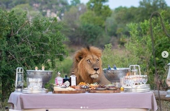 Un leone si 'unisce' ad una cena di turisti in Africa. Le immagini virali