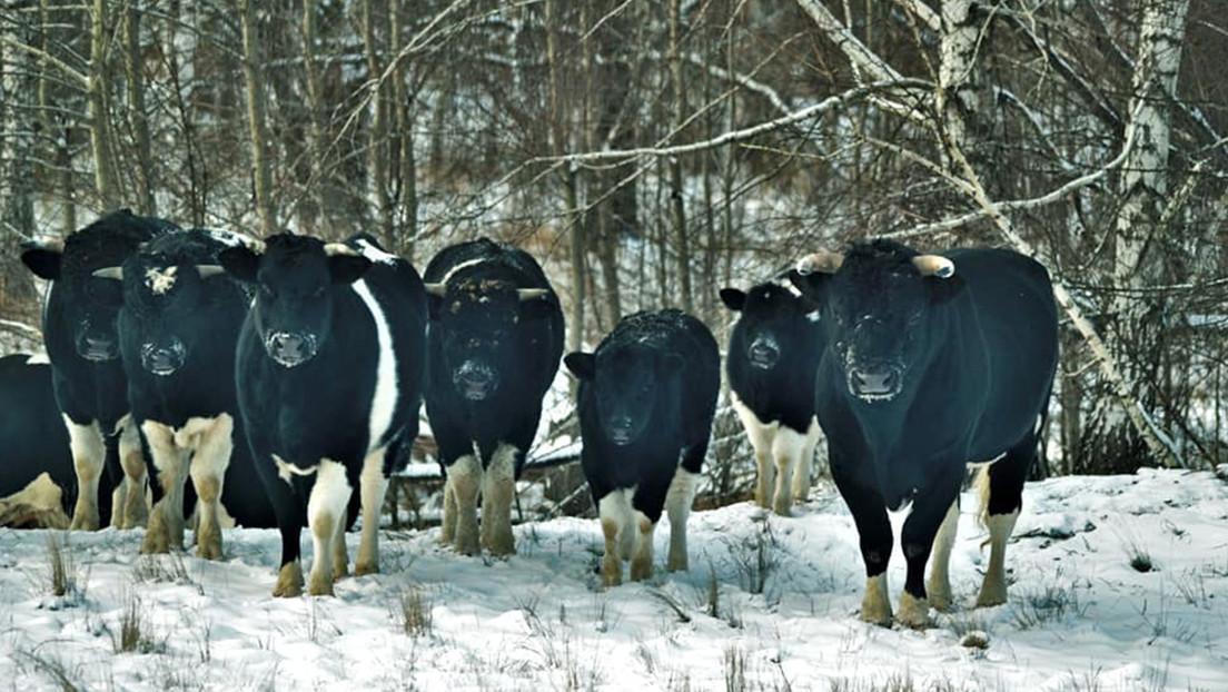 Chernobyl: una mandria di mucche selvatiche si aggira nella zona di esclusione