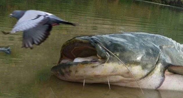 Un pesce di acqua dolce sta devastando gli ecosistemi europei: 'Capace di cacciare i piccioni'