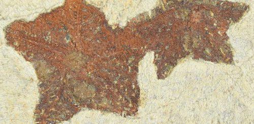 Scoperta una stella marina fossile di 480 milioni di anni