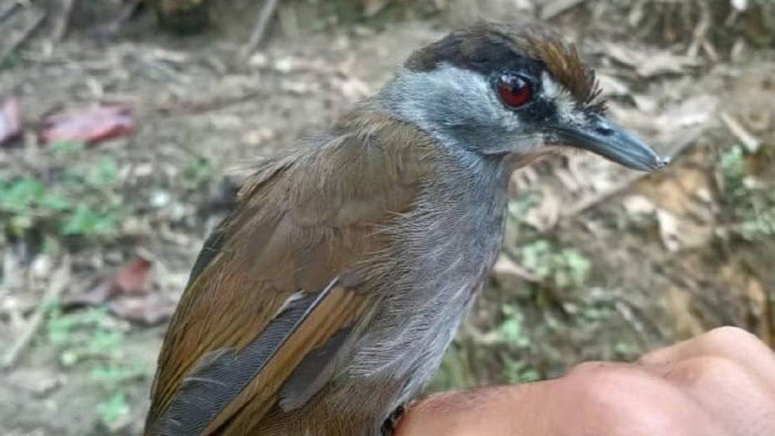 Indonesia: ricompare uccello ritenuto estinto da più di 170 anni