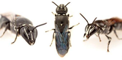 Australia: gli scienziati scoprono ape creduta estinta da quasi un secolo