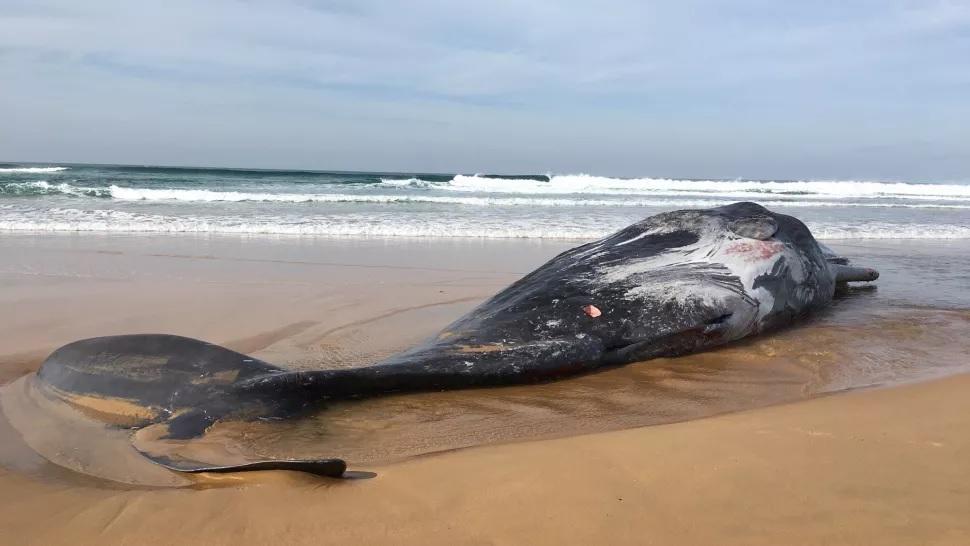 Capodoglio arenato in Australia. Sul corpo segni di ventose di un calamaro gigante