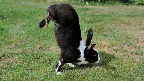 Scoperto un difetto genetico che impedisce ad alcuni conigli di saltare