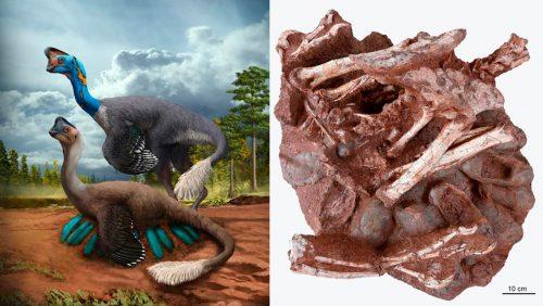 Un dinosauro che covava le uova scoperto in Cina